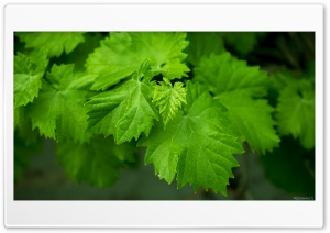 Grape Leaves HD Wide Wallpaper for Widescreen