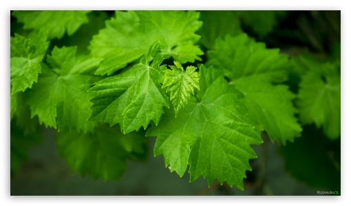 Grape Leaves HD wallpaper for HD 16:9 High Definition WQHD QWXGA 1080p 900p 720p QHD nHD ; UHD 16:9 WQHD QWXGA 1080p 900p 720p QHD nHD ; Tablet 1:1 ; iPad 1/2/Mini ; Mobile 4:3 5:3 3:2 16:9 - UXGA XGA SVGA WGA DVGA HVGA HQVGA devices ( Apple PowerBook G4 iPhone 4 3G 3GS iPod Touch ) WQHD QWXGA 1080p 900p 720p QHD nHD ;