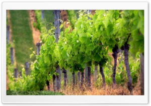 Grape Vines HD Wide Wallpaper for Widescreen
