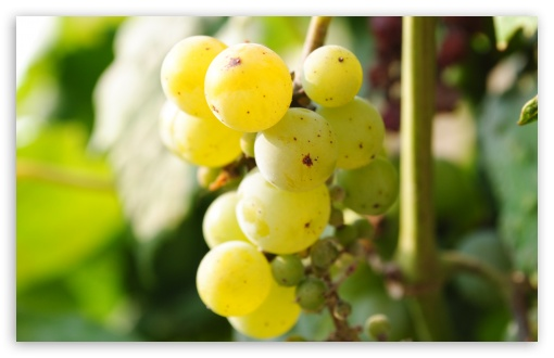 Grapes HD wallpaper for Wide 16:10 5:3 Widescreen WHXGA WQXGA WUXGA WXGA WGA ; HD 16:9 High Definition WQHD QWXGA 1080p 900p 720p QHD nHD ; UHD 16:9 WQHD QWXGA 1080p 900p 720p QHD nHD ; Standard 4:3 5:4 3:2 Fullscreen UXGA XGA SVGA QSXGA SXGA DVGA HVGA HQVGA devices ( Apple PowerBook G4 iPhone 4 3G 3GS iPod Touch ) ; Tablet 1:1 ; iPad 1/2/Mini ; Mobile 4:3 5:3 3:2 16:9 5:4 - UXGA XGA SVGA WGA DVGA HVGA HQVGA devices ( Apple PowerBook G4 iPhone 4 3G 3GS iPod Touch ) WQHD QWXGA 1080p 900p 720p QHD nHD QSXGA SXGA ;