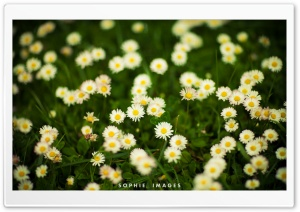 Grass And White Flowers HD Wide Wallpaper for Widescreen