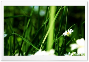 Grass And White Flowers HD Wide Wallpaper for 4K UHD Widescreen desktop & smartphone