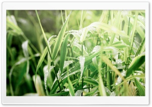 Grass Dew, Macro HD Wide Wallpaper for Widescreen