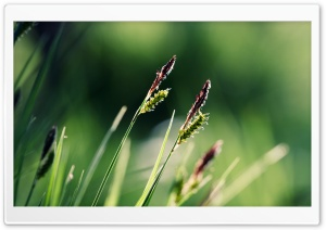 Grass Ears Macro HD Wide Wallpaper for Widescreen