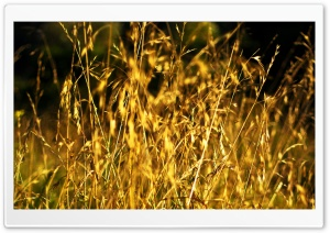 Grass Ears, Summer HD Wide Wallpaper for Widescreen