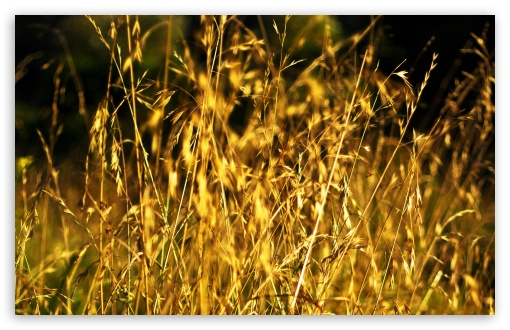 Grass Ears, Summer ❤ 4K UHD Wallpaper for Wide 16:10 5:3 Widescreen WHXGA WQXGA WUXGA WXGA WGA ; 4K UHD 16:9 Ultra High Definition 2160p 1440p 1080p 900p 720p ; Standard 4:3 5:4 3:2 Fullscreen UXGA XGA SVGA QSXGA SXGA DVGA HVGA HQVGA ( Apple PowerBook G4 iPhone 4 3G 3GS iPod Touch ) ; Tablet 1:1 ; iPad 1/2/Mini ; Mobile 4:3 5:3 3:2 16:9 5:4 - UXGA XGA SVGA WGA DVGA HVGA HQVGA ( Apple PowerBook G4 iPhone 4 3G 3GS iPod Touch ) 2160p 1440p 1080p 900p 720p QSXGA SXGA ; Dual 16:10 5:3 16:9 4:3 5:4 WHXGA WQXGA WUXGA WXGA WGA 2160p 1440p 1080p 900p 720p UXGA XGA SVGA QSXGA SXGA ;