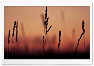 Grass Ears Sunset HD Wide Wallpaper for Widescreen