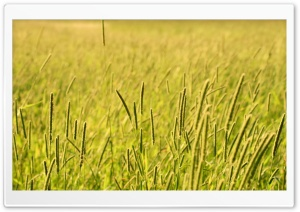 Grass Field, Summer HD Wide Wallpaper for Widescreen