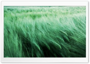 Grass In The Wind HD Wide Wallpaper for Widescreen