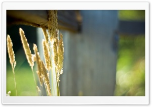 Grass Spikelets HD Wide Wallpaper for Widescreen