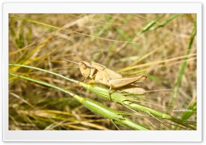 Grasshopper HD Wide Wallpaper for 4K UHD Widescreen desktop & smartphone