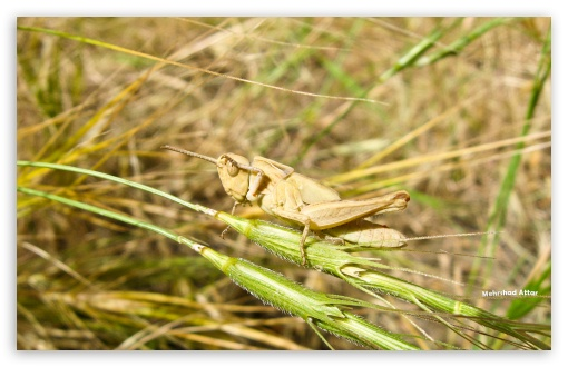 Grasshopper HD wallpaper for Standard 4:3 5:4 Fullscreen UXGA XGA SVGA QSXGA SXGA ; Wide 16:10 5:3 Widescreen WHXGA WQXGA WUXGA WXGA WGA ; HD 16:9 High Definition WQHD QWXGA 1080p 900p 720p QHD nHD ; Other 3:2 DVGA HVGA HQVGA devices ( Apple PowerBook G4 iPhone 4 3G 3GS iPod Touch ) ; Mobile VGA WVGA iPhone iPad PSP Phone - VGA QVGA Smartphone ( PocketPC GPS iPod Zune BlackBerry HTC Samsung LG Nokia Eten Asus ) WVGA WQVGA Smartphone ( HTC Samsung Sony Ericsson LG Vertu MIO ) HVGA Smartphone ( Apple iPhone iPod BlackBerry HTC Samsung Nokia ) Sony PSP Zune HD Zen ; Dual 4:3 5:4 16:10 5:3 16:9 UXGA XGA SVGA QSXGA SXGA WHXGA WQXGA WUXGA WXGA WGA WQHD QWXGA 1080p 900p 720p QHD nHD ;