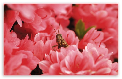 Grasshopper Among Flowers HD wallpaper for Wide 16:10 5:3 Widescreen WHXGA WQXGA WUXGA WXGA WGA ; HD 16:9 High Definition WQHD QWXGA 1080p 900p 720p QHD nHD ; Standard 4:3 5:4 Fullscreen UXGA XGA SVGA QSXGA SXGA ; MS 3:2 DVGA HVGA HQVGA devices ( Apple PowerBook G4 iPhone 4 3G 3GS iPod Touch ) ; Mobile VGA WVGA iPhone iPad PSP Phone - VGA QVGA Smartphone ( PocketPC GPS iPod Zune BlackBerry HTC Samsung LG Nokia Eten Asus ) WVGA WQVGA Smartphone ( HTC Samsung Sony Ericsson LG Vertu MIO ) HVGA Smartphone ( Apple iPhone iPod BlackBerry HTC Samsung Nokia ) Sony PSP Zune HD Zen ; Tablet 1&2 ;