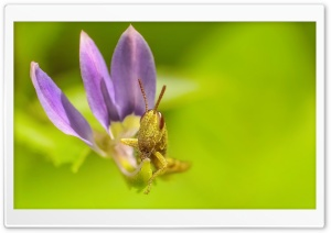 Grasshopper Eating a Flower Leaf HD Wide Wallpaper for Widescreen