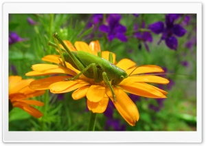 Grasshopper On A Flower HD Wide Wallpaper for Widescreen