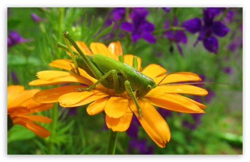 Grasshopper On A Flower HD wallpaper for Wide 16:10 5:3 Widescreen WHXGA WQXGA WUXGA WXGA WGA ; HD 16:9 High Definition WQHD QWXGA 1080p 900p 720p QHD nHD ; Standard 4:3 5:4 3:2 Fullscreen UXGA XGA SVGA QSXGA SXGA DVGA HVGA HQVGA devices ( Apple PowerBook G4 iPhone 4 3G 3GS iPod Touch ) ; iPad 1/2/Mini ; Mobile 4:3 5:3 3:2 16:9 5:4 - UXGA XGA SVGA WGA DVGA HVGA HQVGA devices ( Apple PowerBook G4 iPhone 4 3G 3GS iPod Touch ) WQHD QWXGA 1080p 900p 720p QHD nHD QSXGA SXGA ; Dual 4:3 5:4 UXGA XGA SVGA QSXGA SXGA ;
