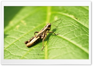 Grasshopper On Leaf HD Wide Wallpaper for Widescreen