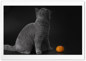 Gray Cat HD Wide Wallpaper for Widescreen