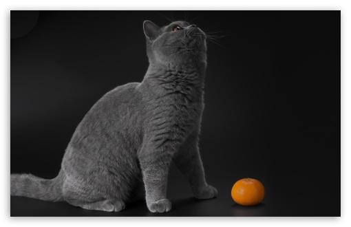 Gray Cat HD wallpaper for Wide 16:10 5:3 Widescreen WHXGA WQXGA WUXGA WXGA WGA ; HD 16:9 High Definition WQHD QWXGA 1080p 900p 720p QHD nHD ; UHD 16:9 WQHD QWXGA 1080p 900p 720p QHD nHD ; Standard 4:3 5:4 3:2 Fullscreen UXGA XGA SVGA QSXGA SXGA DVGA HVGA HQVGA devices ( Apple PowerBook G4 iPhone 4 3G 3GS iPod Touch ) ; Smartphone 5:3 WGA ; Tablet 1:1 ; iPad 1/2/Mini ; Mobile 4:3 5:3 3:2 16:9 5:4 - UXGA XGA SVGA WGA DVGA HVGA HQVGA devices ( Apple PowerBook G4 iPhone 4 3G 3GS iPod Touch ) WQHD QWXGA 1080p 900p 720p QHD nHD QSXGA SXGA ;