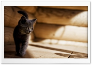 Gray Kitten HD Wide Wallpaper for Widescreen