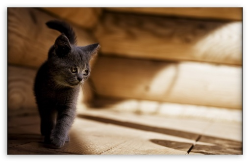 Gray Kitten ❤ 4K UHD Wallpaper for Wide 16:10 5:3 Widescreen WHXGA WQXGA WUXGA WXGA WGA ; 4K UHD 16:9 Ultra High Definition 2160p 1440p 1080p 900p 720p ; Standard 4:3 5:4 3:2 Fullscreen UXGA XGA SVGA QSXGA SXGA DVGA HVGA HQVGA ( Apple PowerBook G4 iPhone 4 3G 3GS iPod Touch ) ; Tablet 1:1 ; iPad 1/2/Mini ; Mobile 4:3 5:3 3:2 16:9 5:4 - UXGA XGA SVGA WGA DVGA HVGA HQVGA ( Apple PowerBook G4 iPhone 4 3G 3GS iPod Touch ) 2160p 1440p 1080p 900p 720p QSXGA SXGA ;