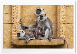 Gray Langur Primates, Old World monkeys HD Wide Wallpaper for 4K UHD Widescreen desktop & smartphone