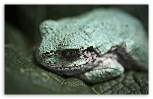 Gray TreeFrog Macro UltraHD Wallpaper for Wide 16:10 5:3 Widescreen WHXGA WQXGA WUXGA WXGA WGA ; 8K UHD TV 16:9 Ultra High Definition 2160p 1440p 1080p 900p 720p ; Standard 4:3 5:4 3:2 Fullscreen UXGA XGA SVGA QSXGA SXGA DVGA HVGA HQVGA ( Apple PowerBook G4 iPhone 4 3G 3GS iPod Touch ) ; Smartphone 16:9 3:2 5:3 2160p 1440p 1080p 900p 720p DVGA HVGA HQVGA ( Apple PowerBook G4 iPhone 4 3G 3GS iPod Touch ) WGA ; Tablet 1:1 ; iPad 1/2/Mini ; Mobile 4:3 5:3 3:2 16:9 5:4 - UXGA XGA SVGA WGA DVGA HVGA HQVGA ( Apple PowerBook G4 iPhone 4 3G 3GS iPod Touch ) 2160p 1440p 1080p 900p 720p QSXGA SXGA ;