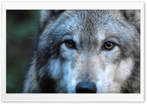 Gray Wolf by Dave Johnson HD Wide Wallpaper for 4K UHD Widescreen desktop & smartphone
