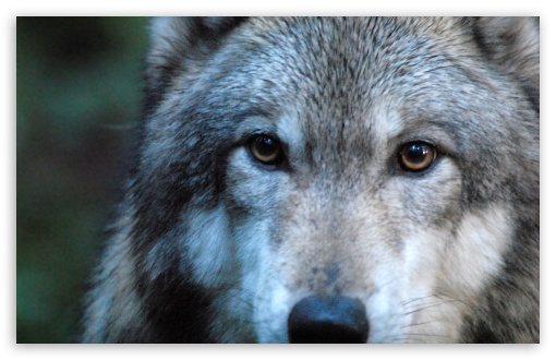 Gray Wolf by Dave Johnson HD wallpaper for Wide 16:10 5:3 Widescreen WHXGA WQXGA WUXGA WXGA WGA ; Standard 4:3 5:4 3:2 Fullscreen UXGA XGA SVGA QSXGA SXGA DVGA HVGA HQVGA devices ( Apple PowerBook G4 iPhone 4 3G 3GS iPod Touch ) ; iPad 1/2/Mini ; Mobile 4:3 5:3 3:2 16:9 5:4 - UXGA XGA SVGA WGA DVGA HVGA HQVGA devices ( Apple PowerBook G4 iPhone 4 3G 3GS iPod Touch ) WQHD QWXGA 1080p 900p 720p QHD nHD QSXGA SXGA ;