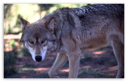Gray Wolf Hunting by Dave Johnson HD wallpaper for Wide 16:10 5:3 Widescreen WHXGA WQXGA WUXGA WXGA WGA ; HD 16:9 High Definition WQHD QWXGA 1080p 900p 720p QHD nHD ; Standard 5:4 3:2 Fullscreen QSXGA SXGA DVGA HVGA HQVGA devices ( Apple PowerBook G4 iPhone 4 3G 3GS iPod Touch ) ; Tablet 1:1 ; Mobile 5:3 3:2 16:9 5:4 - WGA DVGA HVGA HQVGA devices ( Apple PowerBook G4 iPhone 4 3G 3GS iPod Touch ) WQHD QWXGA 1080p 900p 720p QHD nHD QSXGA SXGA ;