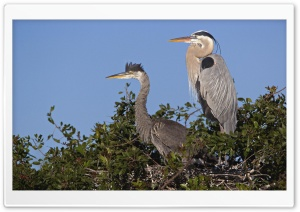 Great Blue Herons At Nest Venice Rookery Venice Florida HD Wide Wallpaper for Widescreen