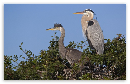Great Blue Herons At Nest Venice Rookery Venice Florida HD wallpaper for Wide 16:10 5:3 Widescreen WHXGA WQXGA WUXGA WXGA WGA ; HD 16:9 High Definition WQHD QWXGA 1080p 900p 720p QHD nHD ; Standard 4:3 5:4 3:2 Fullscreen UXGA XGA SVGA QSXGA SXGA DVGA HVGA HQVGA devices ( Apple PowerBook G4 iPhone 4 3G 3GS iPod Touch ) ; Tablet 1:1 ; iPad 1/2/Mini ; Mobile 4:3 5:3 3:2 16:9 5:4 - UXGA XGA SVGA WGA DVGA HVGA HQVGA devices ( Apple PowerBook G4 iPhone 4 3G 3GS iPod Touch ) WQHD QWXGA 1080p 900p 720p QHD nHD QSXGA SXGA ;