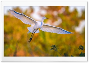 Great egret Ardea alba Bird in Flight Ultra HD Wallpaper for 4K UHD Widescreen desktop, tablet & smartphone