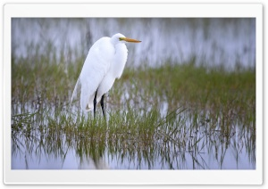 Great Egret Bird HD Wide Wallpaper for Widescreen