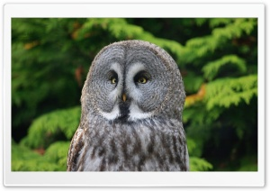 Great Gray Owl HD Wide Wallpaper for Widescreen