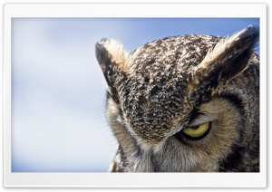 Great Horned Owl Sullen HD Wide Wallpaper for Widescreen