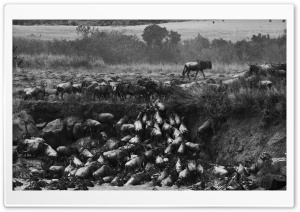 Great Migration Crossing The Mara River, Kenya HD Wide Wallpaper for Widescreen