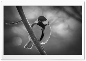 Great Tit Black And White HD Wide Wallpaper for Widescreen