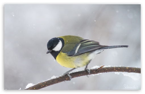 Great Tit In A Snowfall HD wallpaper for Wide 16:10 5:3 Widescreen WHXGA WQXGA WUXGA WXGA WGA ; HD 16:9 High Definition WQHD QWXGA 1080p 900p 720p QHD nHD ; UHD 16:9 WQHD QWXGA 1080p 900p 720p QHD nHD ; Standard 4:3 5:4 3:2 Fullscreen UXGA XGA SVGA QSXGA SXGA DVGA HVGA HQVGA devices ( Apple PowerBook G4 iPhone 4 3G 3GS iPod Touch ) ; iPad 1/2/Mini ; Mobile 4:3 5:3 3:2 16:9 5:4 - UXGA XGA SVGA WGA DVGA HVGA HQVGA devices ( Apple PowerBook G4 iPhone 4 3G 3GS iPod Touch ) WQHD QWXGA 1080p 900p 720p QHD nHD QSXGA SXGA ;