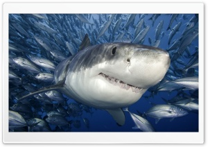 Great White Shark HD Wide Wallpaper for 4K UHD Widescreen desktop & smartphone