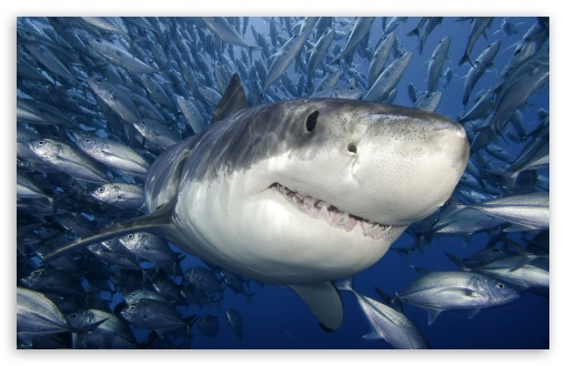 Great White Shark UltraHD Wallpaper for Wide 16:10 5:3 Widescreen WHXGA WQXGA WUXGA WXGA WGA ; 8K UHD TV 16:9 Ultra High Definition 2160p 1440p 1080p 900p 720p ; Standard 4:3 5:4 3:2 Fullscreen UXGA XGA SVGA QSXGA SXGA DVGA HVGA HQVGA ( Apple PowerBook G4 iPhone 4 3G 3GS iPod Touch ) ; iPad 1/2/Mini ; Mobile 4:3 5:3 3:2 16:9 5:4 - UXGA XGA SVGA WGA DVGA HVGA HQVGA ( Apple PowerBook G4 iPhone 4 3G 3GS iPod Touch ) 2160p 1440p 1080p 900p 720p QSXGA SXGA ;