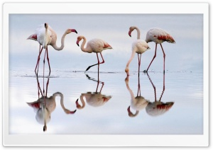 Greater Flamingos Fuente De Piedra Lagoon Spain HD Wide Wallpaper for Widescreen