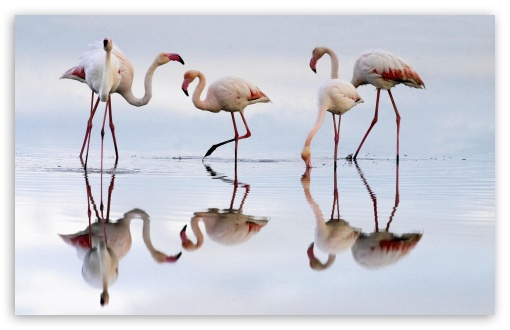 Greater Flamingos Fuente De Piedra Lagoon Spain HD wallpaper for Wide 16:10 5:3 Widescreen WHXGA WQXGA WUXGA WXGA WGA ; HD 16:9 High Definition WQHD QWXGA 1080p 900p 720p QHD nHD ; Standard 4:3 5:4 3:2 Fullscreen UXGA XGA SVGA QSXGA SXGA DVGA HVGA HQVGA devices ( Apple PowerBook G4 iPhone 4 3G 3GS iPod Touch ) ; iPad 1/2/Mini ; Mobile 4:3 5:3 3:2 16:9 5:4 - UXGA XGA SVGA WGA DVGA HVGA HQVGA devices ( Apple PowerBook G4 iPhone 4 3G 3GS iPod Touch ) WQHD QWXGA 1080p 900p 720p QHD nHD QSXGA SXGA ;