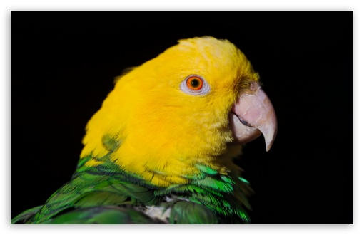 Green And Yellow Parrot HD wallpaper for Wide 16:10 5:3 Widescreen WHXGA WQXGA WUXGA WXGA WGA ; HD 16:9 High Definition WQHD QWXGA 1080p 900p 720p QHD nHD ; Standard 4:3 5:4 3:2 Fullscreen UXGA XGA SVGA QSXGA SXGA DVGA HVGA HQVGA devices ( Apple PowerBook G4 iPhone 4 3G 3GS iPod Touch ) ; Tablet 1:1 ; iPad 1/2/Mini ; Mobile 4:3 5:3 3:2 16:9 5:4 - UXGA XGA SVGA WGA DVGA HVGA HQVGA devices ( Apple PowerBook G4 iPhone 4 3G 3GS iPod Touch ) WQHD QWXGA 1080p 900p 720p QHD nHD QSXGA SXGA ; Dual 16:10 5:3 16:9 4:3 5:4 WHXGA WQXGA WUXGA WXGA WGA WQHD QWXGA 1080p 900p 720p QHD nHD UXGA XGA SVGA QSXGA SXGA ;