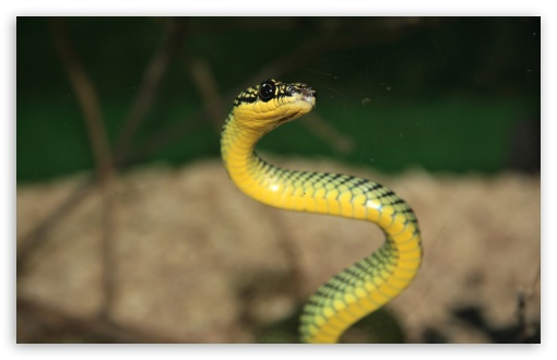 Green And Yellow Snake HD wallpaper for Wide 16:10 5:3 Widescreen WHXGA WQXGA WUXGA WXGA WGA ; HD 16:9 High Definition WQHD QWXGA 1080p 900p 720p QHD nHD ; Standard 4:3 5:4 3:2 Fullscreen UXGA XGA SVGA QSXGA SXGA DVGA HVGA HQVGA devices ( Apple PowerBook G4 iPhone 4 3G 3GS iPod Touch ) ; Tablet 1:1 ; iPad 1/2/Mini ; Mobile 4:3 5:3 3:2 16:9 5:4 - UXGA XGA SVGA WGA DVGA HVGA HQVGA devices ( Apple PowerBook G4 iPhone 4 3G 3GS iPod Touch ) WQHD QWXGA 1080p 900p 720p QHD nHD QSXGA SXGA ;