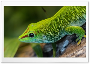 Green Anole Arboreal Lizard Ultra HD Wallpaper for 4K UHD Widescreen desktop, tablet & smartphone