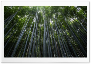 Green Bamboo Forest Ultra HD Wallpaper for 4K UHD Widescreen desktop, tablet & smartphone
