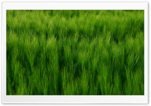 Green Barley Field Ultra HD Wallpaper for 4K UHD Widescreen desktop, tablet & smartphone