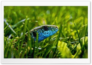 Green Blue Lizard HD Wide Wallpaper for Widescreen