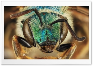 Green Blue Metallic Bee, Agapostemon Coloradinus HD Wide Wallpaper for 4K UHD Widescreen desktop & smartphone